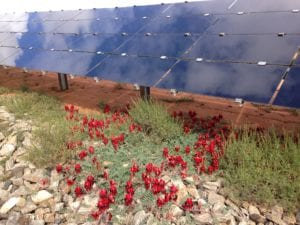 Sturt's Desert Pea plants flower in front of solar panels at AGL's Broken Hill solar plant. (Photo courtesy of AGL/ARENA.)